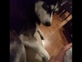 Не стоит гладить другую собаку при своём псе. Даже если она ненастоящая