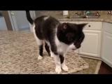 Кот Джек с самым низким в мире «Мяу» (хорошее настроение, юмор, забавное видео, зверь, домашнее животное, на камеру, кухня).