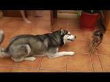 husky хаски знакомится с кошкой