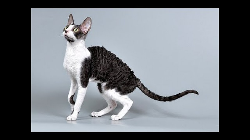 Кот Девон рекс, ч.1. Devon Rex Cat, р.1. Amigurumi. Crochet. Амигуруми. Игрушки крючком.