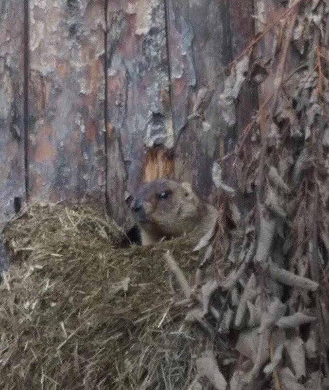 Весна пришла: сурки в Ленинградском зоопарке вышли из спячки