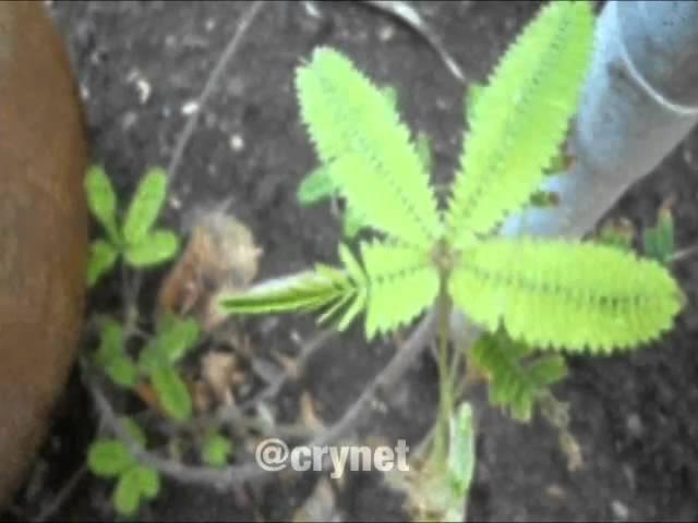 Мимоза стыдливая Mimosa pudica складывает листья в ответ на прикосновения
