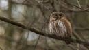 Sóweczka głos terytorialny samca odgłosy Eurasian Pygmy Owl male call Sowy Polski