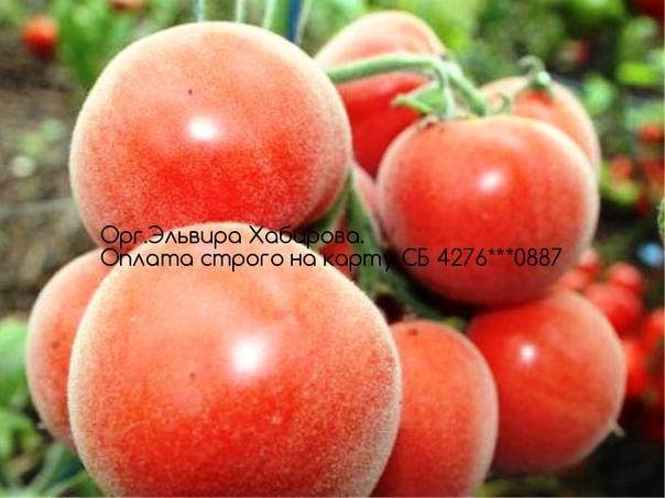 помидор персик розовый отзывы фото карьера кары
