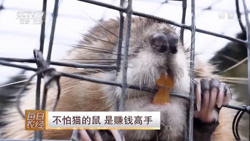Мышка которая не боится Кошек БуПа Мао дэ Шу Ондатра или мускусная Крыса лат Ondatra zibethica Шуй ХаоЦзы водяна