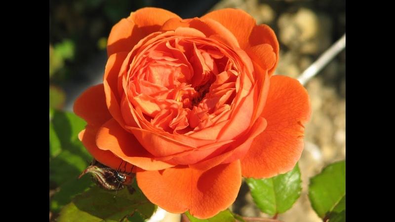 обрезка английских романтических роз роз Остина питомник роз Полины Козловой