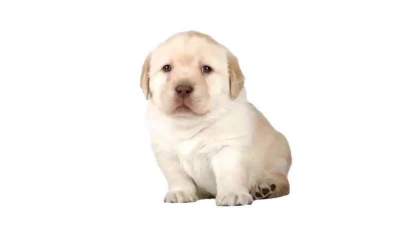A pup doin' ORA ORA JOJO JJBA JOJO BIZARRE ADVENTURE ДжоДжо