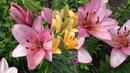 Выращивание лилий Азиатские лилии