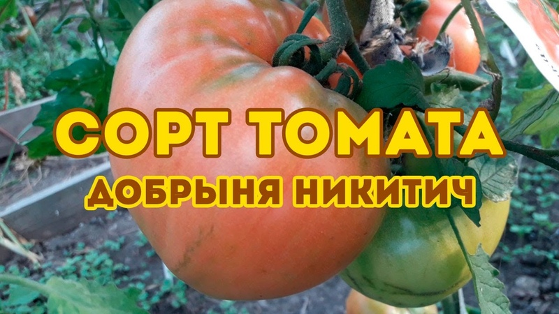 Сорт томата Добрыня Никитич Полный обзор сорта