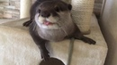 カワウソさくら ウトウトしてるカワウソがジャーキーを見たら… Sleepy otter and jerky