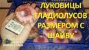 Выкопали луковицы гладиолусов И что с ними делать дальше Восемь советов от опытного цветовода
