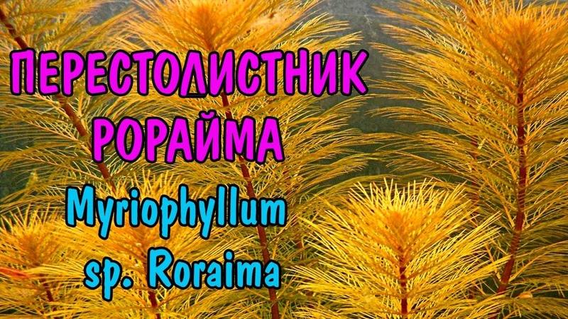 ПЕРЕСТОЛИСТНИК РОРАЙМА ( Myriophyllum sp. Roraima )