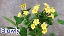 ABC TV | How To Make Mirabilis Jalapa Paper Flower (Slowly) - Craft Tutorial