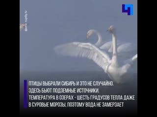 Сотни лебедей прилетели на зимовку в Алтайский край