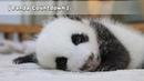 Panda Countdown NannyStealstheBaby Babe'sHugRequestWasRefused iPanda