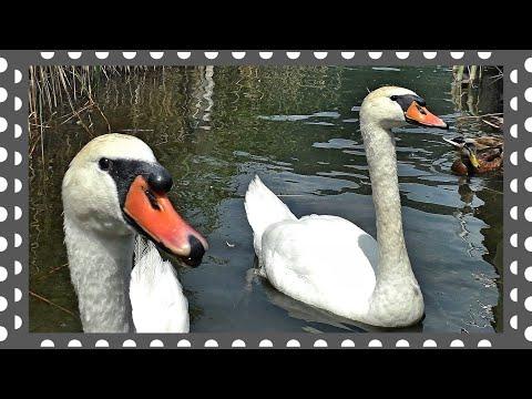 Белые лебеди дали людям знак Почти мистика