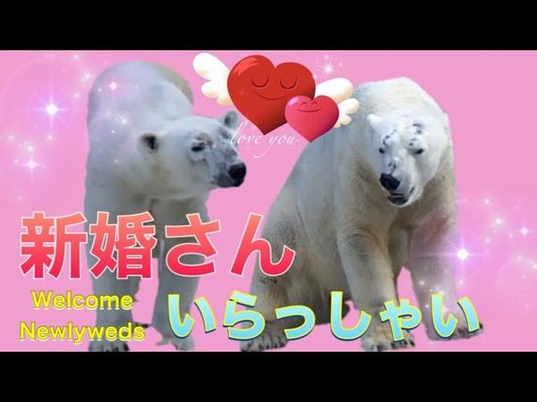 張り切りすぎたイっちゃんがゴーゴの頭にアタックTennoji Zoo Polar Bear