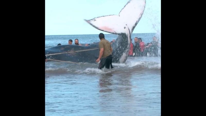 Вариант 13 Выбросившегося на берег горбатого кита спасли в Аргентине