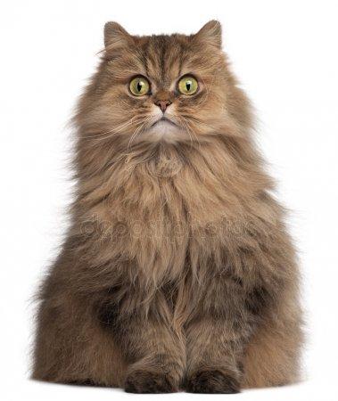 ИСТОРИЯ ПОРОДЫ: ПЕРСИДСКАЯ КОШКА Персидская кошка, точнее история возникновения этой породы, окутана тайной и легендой. Видимо, потому, что это одна из самых старых пород.Голландец Ван дер Верфф