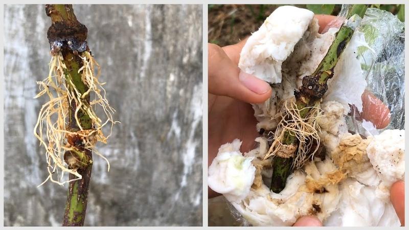 Thử chiết hoa hồng bằng giấy vệ sinh và kết quả đã ra rễ rất nhiều