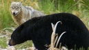 Wolf Protects Pups From a Bear BBC Earth
