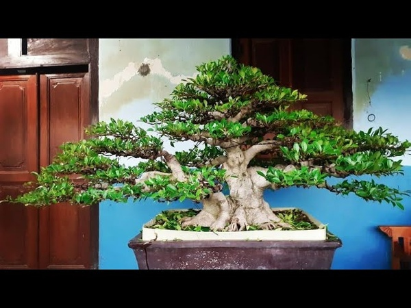 Kumpulan bonsai kimeng inspirasi
