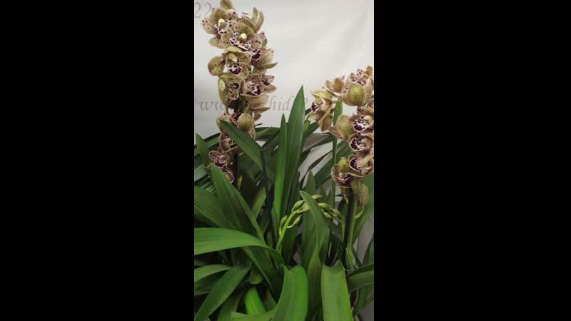 Орхидея Cymbidium Vogel's Magic midi