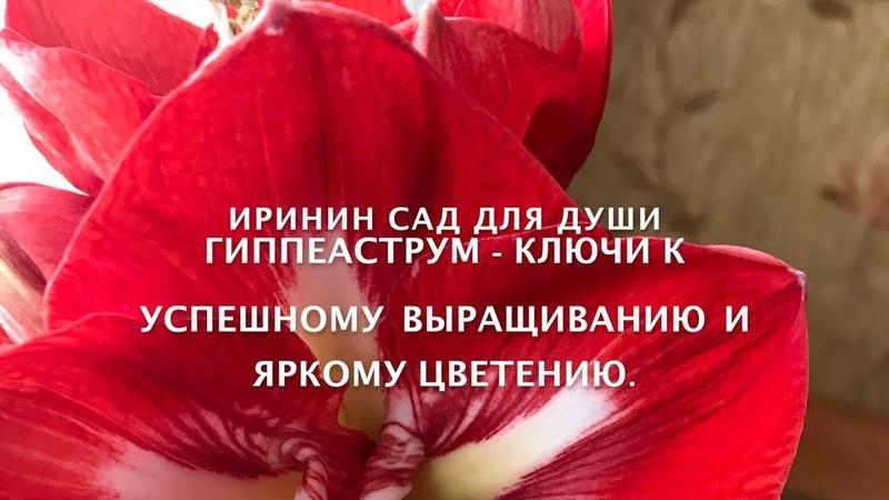 Гиппеаструм ключи к успешному выращиванию и яркому цветению.