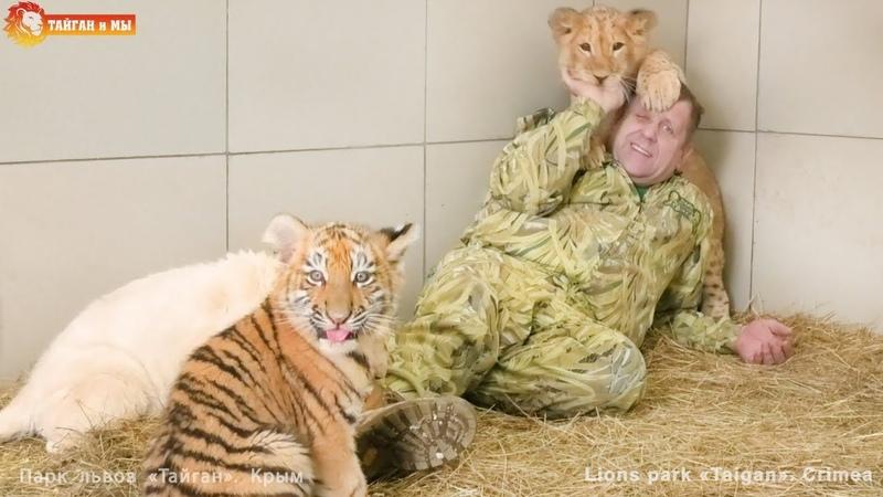Милые котята львята и тигрята Наслаждайтесь позитивом Тайган Lion and tiger cubs Taigan