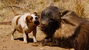 Nanny dog babysits hyena, cheetahs baboons | Unlikely Animal Friendships | Love Nature