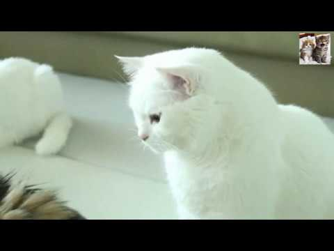 Cute White Cats Very Funny Cat Video #猫 #子猫
