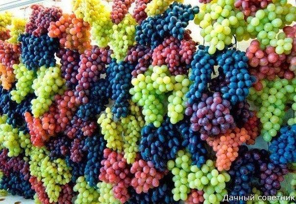 Осенняя обрезка винограда: когда и как Здесь существует множество мнений, и что самое интересное, серьезных споров, ведь все завязано не только на региональности и климате, но и на сортах,