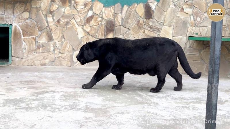 Как рычит пантера Рык ягуара Тайган As the panther growls Jaguar roar Taigan