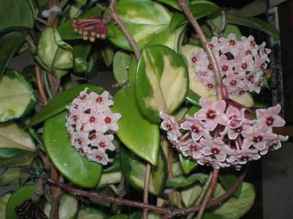 Душистая лиана Старинное комнатное растение восковой плющ в наши дни снова на пике популярности. Чем объяснить неугасающий интерес к давно и хорошо известному домашнему растению С одной стороны,
