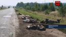 Водитель грузовика усеял дорогу гниющими мертвыми свиньями