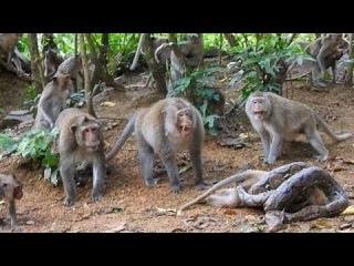 Khóc thét quái vật không chân đối đầu Quấn chặt : Vua khỉ , chuột , chồn - Tự vệ giải cứu tử thần