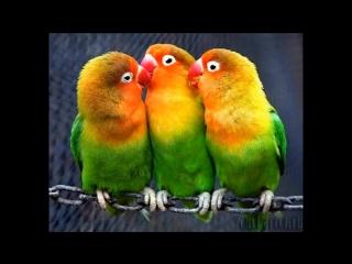 Пьяный дуэт попугаев. Умереть - не встать
