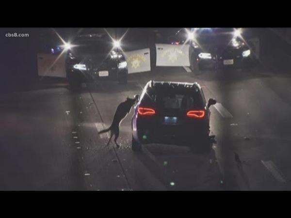 San Diego Sheriffs K-9 takedown goes viral