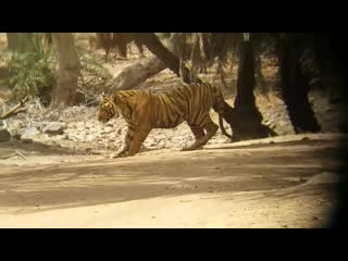 Sloth bear vs tiger