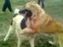 Собачьи бой