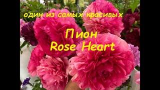 "Пион ""Роуз Хат"", peony ""Rose Heart"", Санкт Петербург, июнь 2021 г."