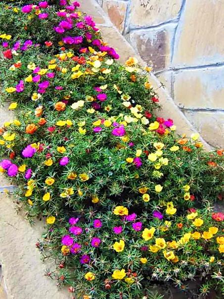 Портулак Декоративный – роскошный цветущий ковер для вашего сада и клумб, изображение №4