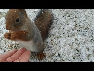 2020-01-26 Рамбовские гордый белк любит, когда его гладят по животику