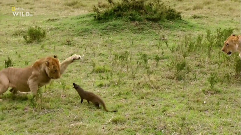 National Geographic Wild ᴴᴰ Бойцовский клуб для животных Зубы и когти