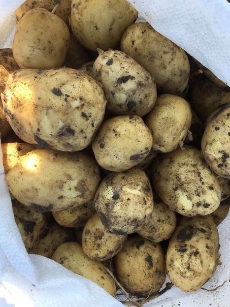 Продаём свой картофель с фермы🥔Урожай в этом году ...
