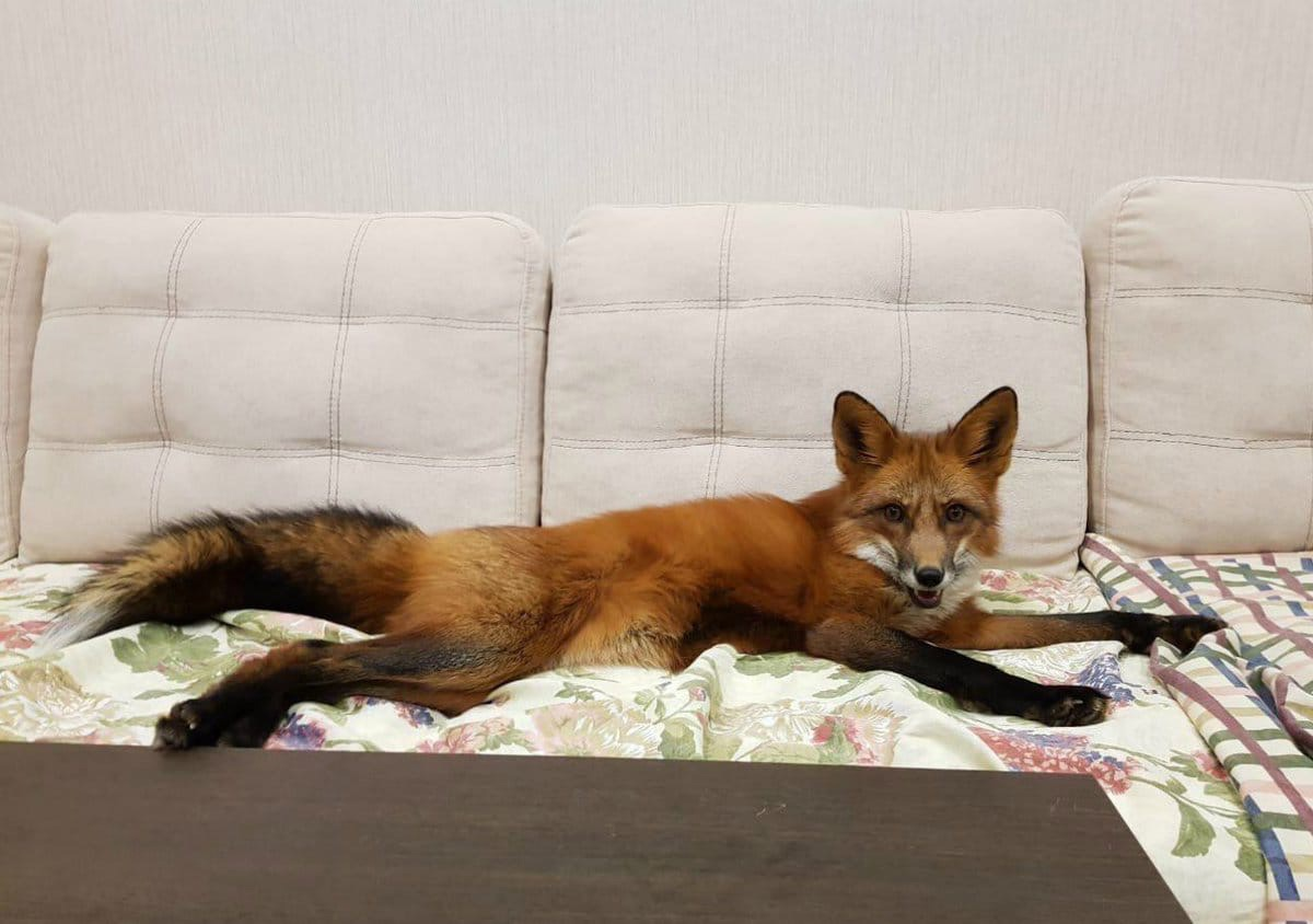 Россиянам запрещено держать дома лисиц.
