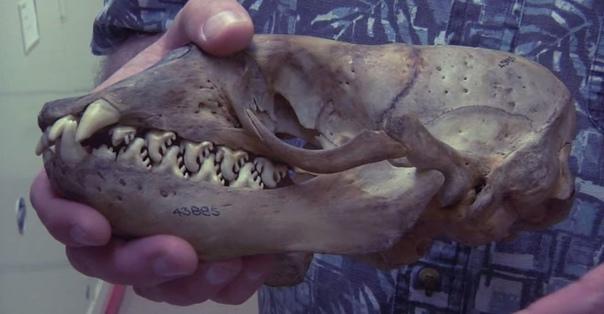 Удивительные зубы тюленя-крабоеда Тюлени-крабоеды, помимо того, что не питаются крабами, обладают очень интересной особенностью. У них потрясающие зубы, которые выглядят как настоящее