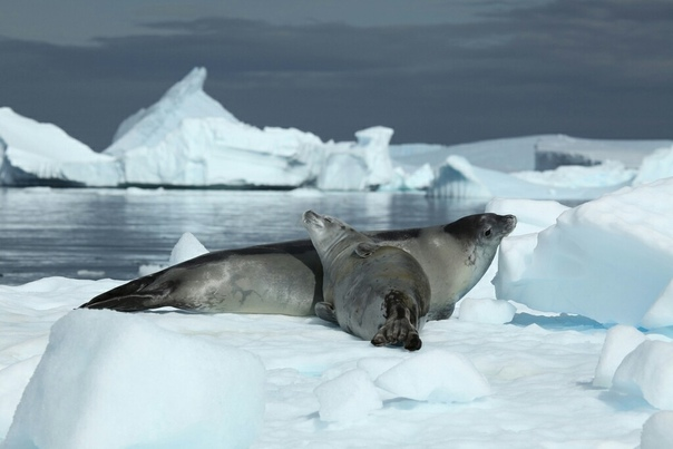 Удивительные зубы тюленя-крабоеда
