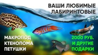 Лабиринтовые аквариумные рыбки. Ктенопома. Петушки. Макропод