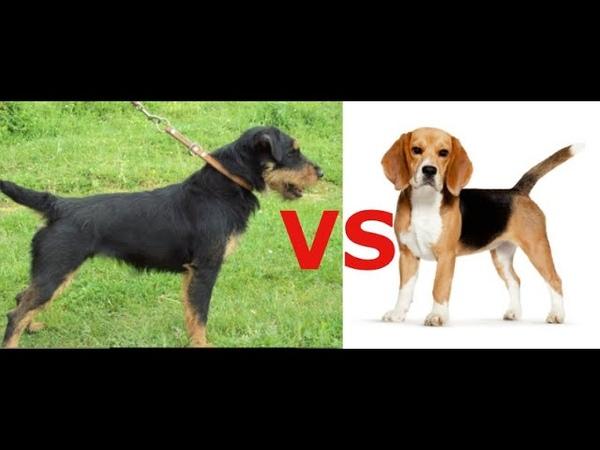 Какую собаку выбрать для семьи где есть дети Какая собака круче Бигль или Ягдтерьер